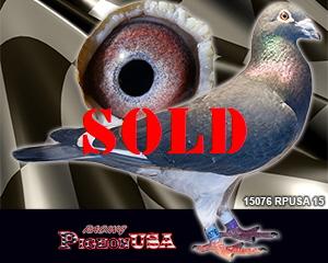 Racing Pigeons For Sale   Pigeons For Sale   PigeonUSA